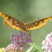 Great Spangled Fritillary Butterfly Poster