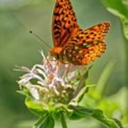 Great Spangled Fritillary On Bee Balm Poster