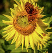 Great Spangled Fritillary On Sunflower Poster