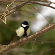 Great Tit Male 2 Poster
