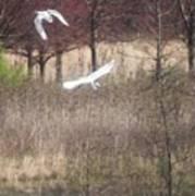 Great White Egret - 3 Poster