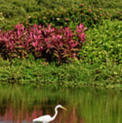 Great White Egret Fishing In A Pond With Tropical Plants And Sie Poster