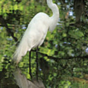 Great White Egret In Spring Poster