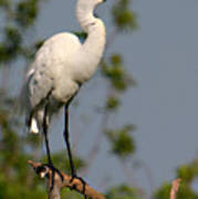 Great White Egret Pose Poster