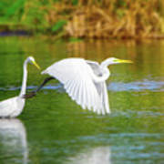 Great White Egrets Poster