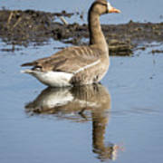 Great White Fronted Goose Poster