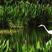 Great White Heron Green Cay Wetlands Poster