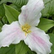 Great White Trillium Poster