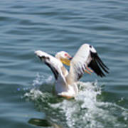Great White Pelican In Flight Poster