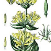 great yellow gentian, Gentiana lutea Poster