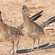 Greater Roadrunner Bird Poster