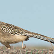 Greater Roadrunner On The Hunt Poster