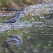 Greater Yellowlegs Reflected Poster