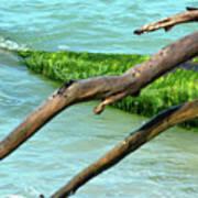 Green Algae Poster