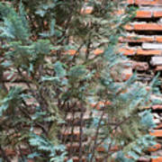 Green And Red - Cypress Branches Over Antique Roman Brick Wall Poster
