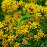 Green Anole Hiding In Golden Rod Poster