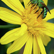Green Bee On Yellow Daisy Poster