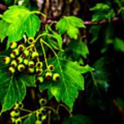 Green Berries Poster