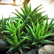 Green Cactus Poster