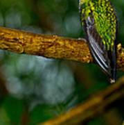 Green-crowned Brilliant Hummingbird Poster
