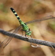 Green Dragonfly On Twig Poster
