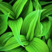 Green False Hellebore Poster