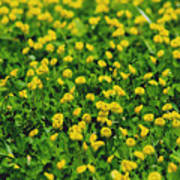 Green Field Of Yellow Flowers 1 Poster