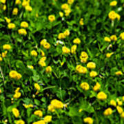 Green Field Of Yellow Flowers 4 Poster