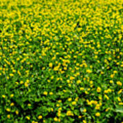 Green Field Of Yellow Flowers Poster