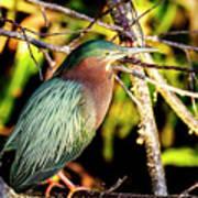 Green Heron At Green Cay Wetlands Poster