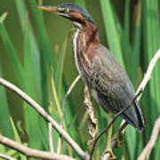 Green Heron At The Governor's Palace Gardens Poster