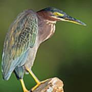 Green Heron Butorides Virescens Poster