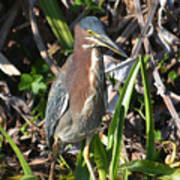 Green Heron Everglades Poster