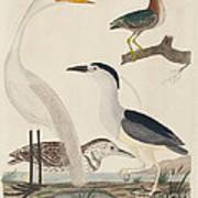 Green Heron, Night Heron, Young Heron, And Great White Heron Poster