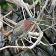 Green Heron On A Branch Poster