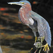 Green Heron Sretching Wing Poster