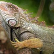 Green Iguana Costa Rica Poster