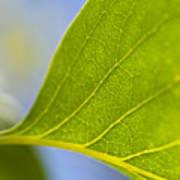 Green Leaf Backlit  Poster