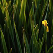 Green Marsh Grass At Sunrise On Lake Cassidy  Poster