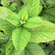 Green Mint Leaves Poster