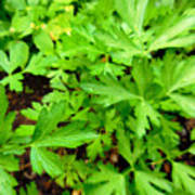 Green Parsley  4 Poster
