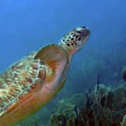 Green Sea Turtle 4 Poster