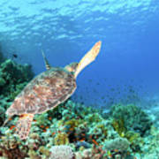 Green Sea Turtle Poster