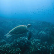 Green Sea Turtle Swimming Over Coral Poster