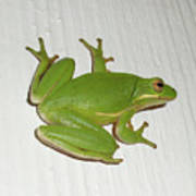 Green Tree Frog - Hyla Cinerea Poster