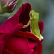 Green Tree Frog And Red Roses Poster