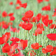 Green Wheat And Red Poppy Flowers Poster