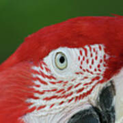 Green-winged Macaw Close Up Poster