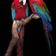 Green Winged Macaw Portrait Poster