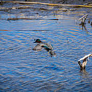 Green-winged Teal 4 Poster